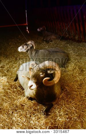 an image of three rams resting in straw poster