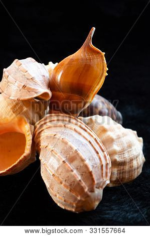 Large Shell Marine Mother Of Pearl Beige Uneven Sea Inhabitant Nautilus Close-up Black Background
