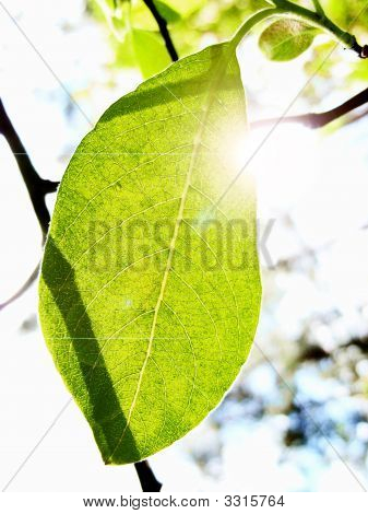 Sunbeams pass through a translucent green leaf. poster