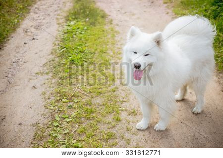 Beautiful Samoyed Dog.funny Samoyed Puppy Dog Top View In The Garden On The Green Grass.playful Pet