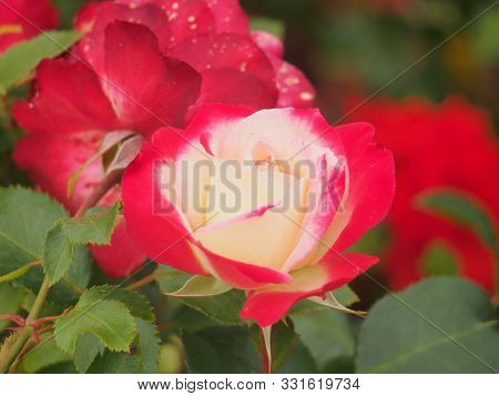 Pink And White Rose Bud Petals. Flowering Plants.