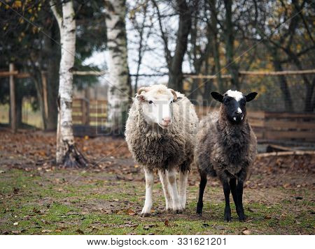 Sheep Of Different Breeds. Romanov Sheep And Poll Dorset