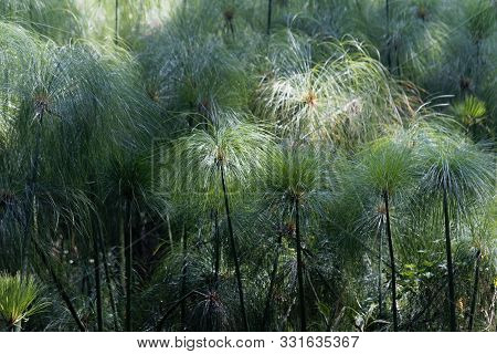 Spikes Of Papyrus Sedges, Cyperus Papyrus