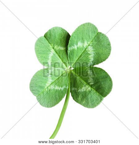 Four leaf Clover isolated on white background
