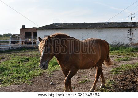 Horse Farm Scene. Farm Horse. The Horse Is Red With White Spots. Horse On A Ranch On A Farm In The S