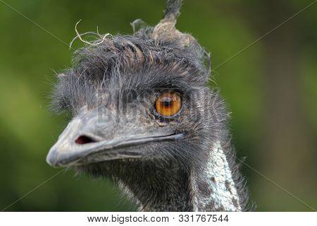 Close Up Of Emu Head And Beak