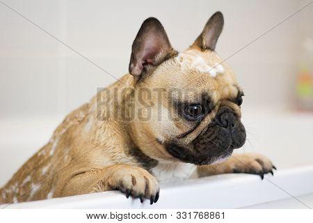 Cute French Bulldog Dog With Soap Bubbles On Head In Bath Tub Getting Groomed