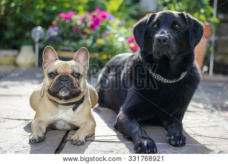French Bulldog And Labrador Dog Laying Together In Sunny Flower Garden In Summer On Patio