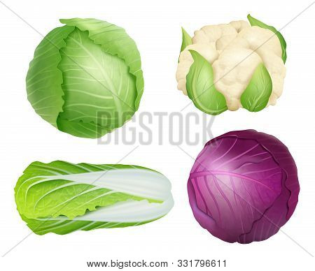 Cabbage. Vegetarian Fresh Healthy Food Nature Plants Agricultural Ingredients Green Salad Vector Rea