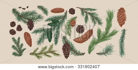 Hand Drawn Colorful Collection Of Spruce Branches And Cones. Realistic Engraving Set Of Conifer Cone