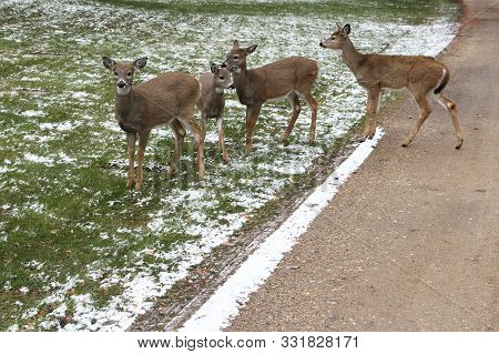 Four White-tailed Deer Crossing A Road In A Cemetery.