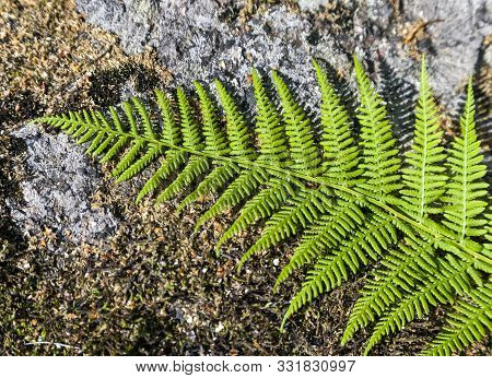 Fern Leaf On A Large Boulder. The Texture Of The Feathery Lacy Leaf Of A Fern Plant Lying On A Stone