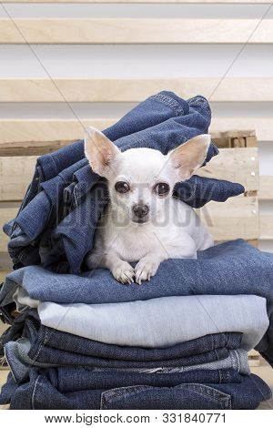 Chihuahua Dog. A Small White Dog Of The Chihuahua Breed Lies On A Heap Of Jeans And Looks In Front O
