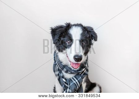 Funny Studio Portrait Of Cute Smilling Puppy Dog Border Collie Wearing Warm Clothes Scarf Around Nec