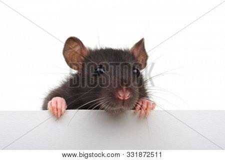 Black rat isolated on white background. Funny animal