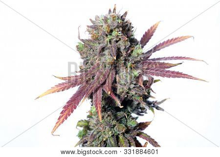 Marijuana Flower. Cannabis Sativa Plant with Female Flowers. Isolated on white. Room for text. Cannabis and Marijuana are now legal in many of the United States for Recreational and Medical purposes.