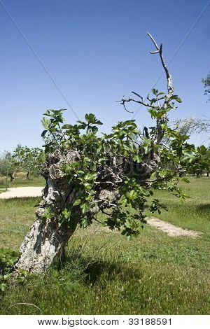 Ficus carica, fig tree landscape