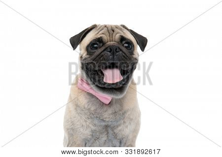happy pug wearing pink bowtie and sticking out tongue, panting and sitting isolated on white background, portrait