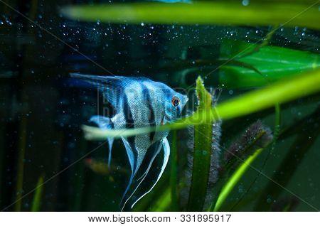 Blue Zebra Angelfish In Tank Fish (pterophyllum Scalare)
