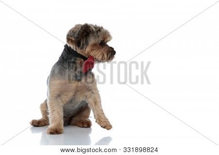 pretty Yorkshire Terrier dog wearing red bowtie sitting and looking aside with one paw detached on white studio background poster