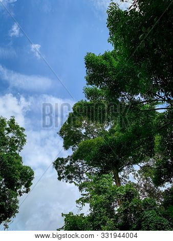 Bottom View Of Green Tree In Tropical Forest With Bright Blue Sky And White Cloud. Bottom View Of Tr