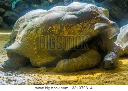 Closeup Portrait Of A Aldabra Giant Tortoise Resting On The Ground, Worlds Largest Land Dwelling Tur