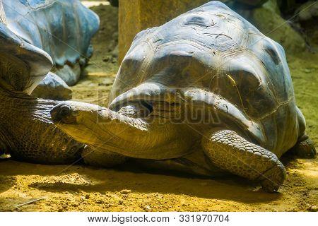 Aldabra Giant Tortoise Closeup Portrait, Worlds Largest Land Dwelling Turtle Specie, Vulnerable Anim
