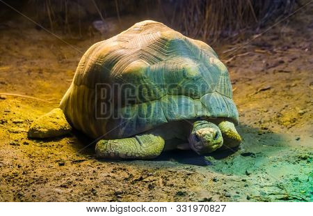 Radiated Tortoise In Closeup, Tropical Turtle Specie From Madagascar, Critically Endangered Animal S
