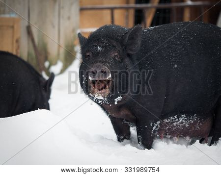 Funny Big Pig In The Snow. Funny Animal