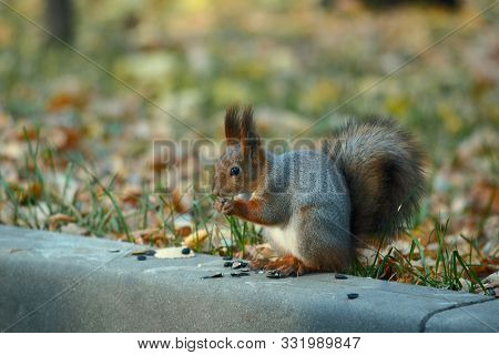 Gray Squirrel Eats Sunflower Seeds Sitting On A Border