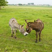 two donkeys in love in the green farmland poster