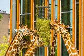 group of reticulated giraffes eating from a hay basket, zoo animal feeding equipment, Endangered animal specie from Africa poster