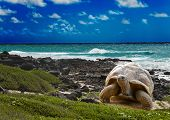 Large turtle at the sea edge on background of a tropical landscape poster