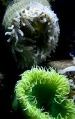 Green and white living coral flowing in water. poster