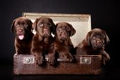four cute chocolate puppies of Labrador Retriever amicably sitting in brown vintage leather suitcase on black background poster