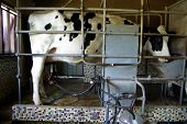 Cow being milked by a milking machine. poster