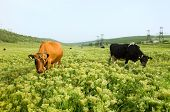 Two cows in a pasture with perfect green grass poster