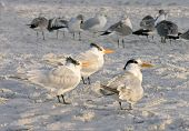 Terns are among the common birds seen around the beaches in Florida. poster