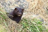 Wild mink Mustela lutreola lookking from burrow.  Predatory furry mammal hunting in nature. poster