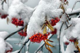 Frozen Brunches Of Rowan Berries Under Snow