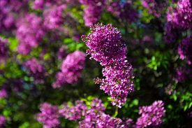Spring Lilac Flowers In Blossom In The Spring Garden