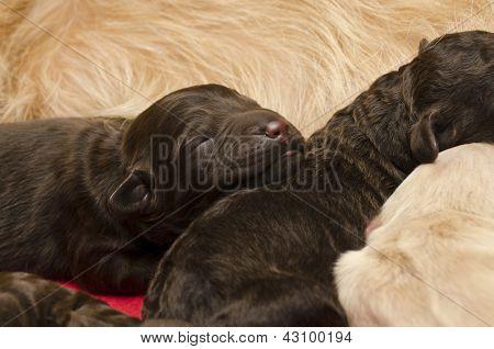 Selective Focus On Sleeping Puppy