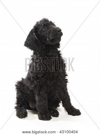 Black Labradoodle