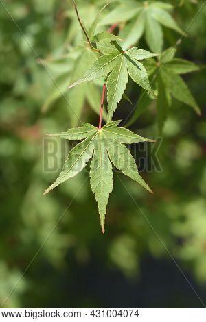Japanese Maple Leaves - Latin Name - Acer Palmatum