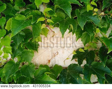 Ivy Branches Are Woven On Old Fence. Texture Of Green Leaves And Brick Wall With Copy Space. Natural