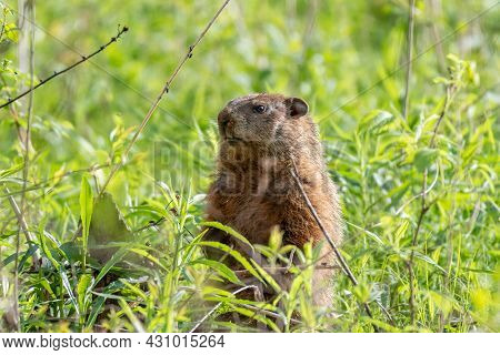 Groundhog Also Known As Woodchuck On The Lookout