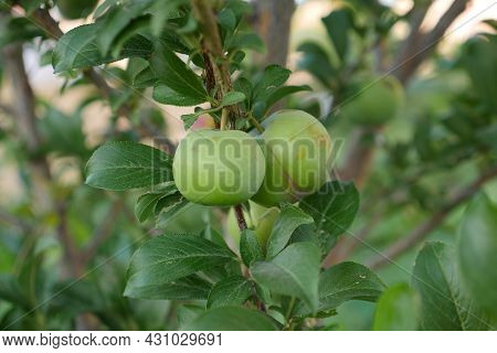 Green Sour Plum Standing On Tree,close-up Plump,plum On Tree,