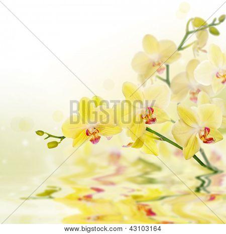 lemon yellow orchid flowers on light background