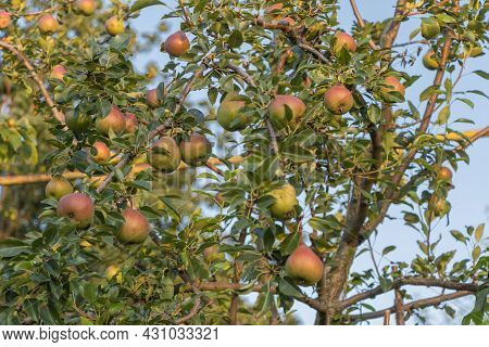 A Bunch Of Sweet Pears In The Tree. Benefits Of Pears. Blue Sky Background
