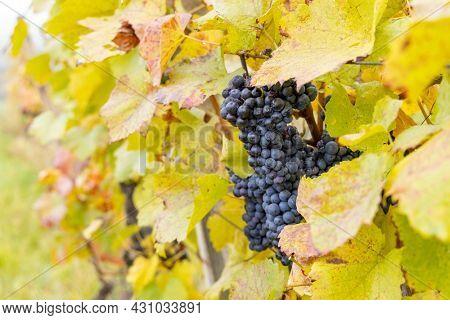 Blue grapes in autumn vineyard, Southern Moravia, Czech Republic